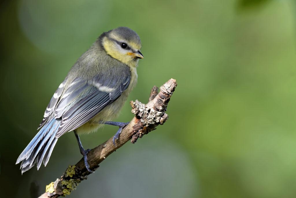 Jungvogel Blaumeise