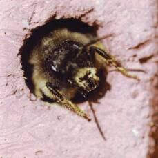 Insektennistwand mit Lehm + Schilf