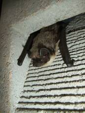 Fledermaus-Fassadenröhre 1FR Fassadenhöhle Schwegler